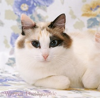 Ragdoll x Turkish Van Cat