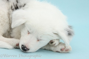 Sleepy Border Collie pup