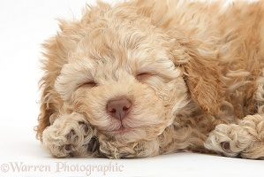 Sleepy toy Labradoodle puppy
