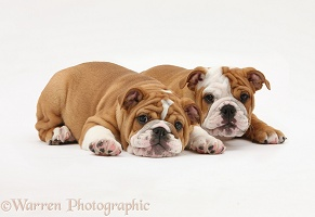 Two bulldog puppies