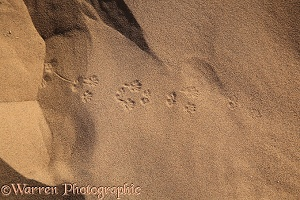 Gerbil tracks in sand (3)