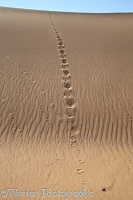 Jackal and gerbil tracks in sand