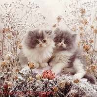 Persian kittens among snowy deadheads and roses