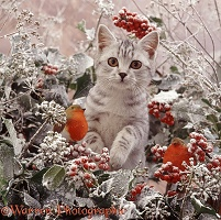 Silver tabby kitten with frosty holly and ivy