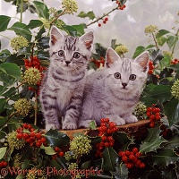 Silver tabby kittens among holly berries and ivy flowers