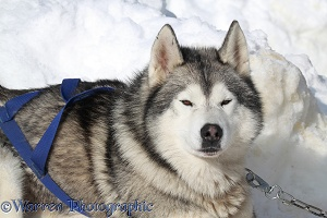 Husky harnessed for sledging