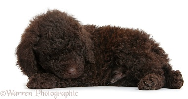 Cute sleeping chocolate Toy Goldendoodle puppy