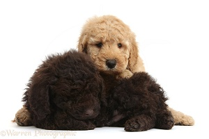 Cute sleepy Toy Goldendoodle puppies