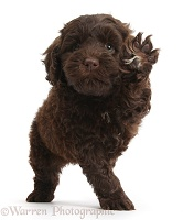 Cute chocolate Toy Goldendoodle puppy waving