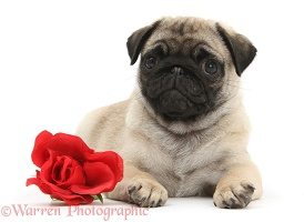Pug puppy with a red rose