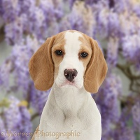 Orange-and-white Beagle pup portrait