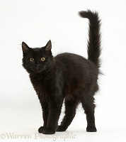 Fluffy black kitten with arched back