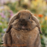 Brown Lionhead-Lop rabbit portrait