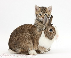 Cute tabby kitten and rabbit