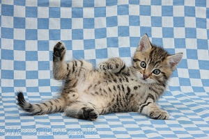 Cute tabby kitten on blue gingham background