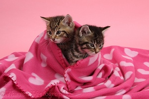 Cute tabby kittens, wrapped in a pink blanket