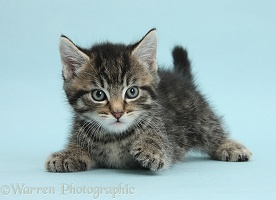 Cute tabby kitten on blue background