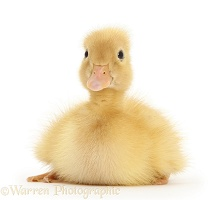Yellow Call Duckling