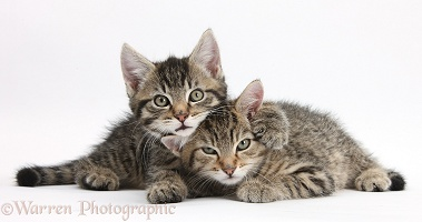 Cute tabby kittens lounging together