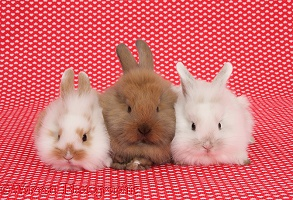 Cute baby bunnies, sitting on red hearts background