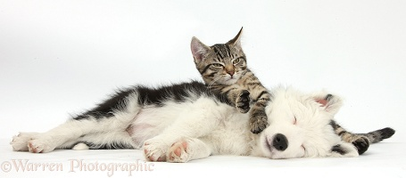 Tabby kitten and sleepy black-and-white Border Collie pup