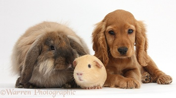 Cute Cocker Spaniel puppy with Guinea pig and rabbit