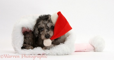 Black-and-grey merle Daxiedoodle pup in a Santa hat