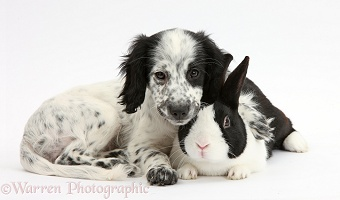 Black-and-white puppy with rabbit