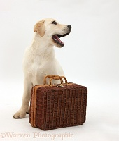 Yellow Labrador Retriever pup waiting with suitcase