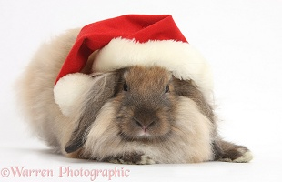 Comical Lionhead-Lop rabbit wearing a Santa hat
