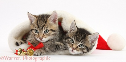 Cute tabby kittens in a Santa hat