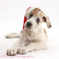 Great Dane puppy wearing a Santa hat