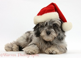 Daxiedoodle puppy wearing a Santa hat