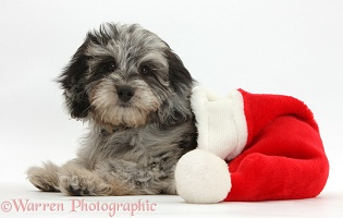 Daxiedoodle puppy in a Santa hat