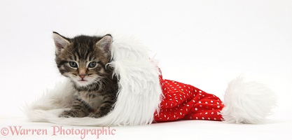 Cute tabby kitten, in a Santa hat