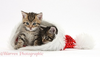 Cute tabby kittens, in a Santa hat
