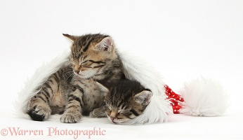Cute tabby kittens, asleep in a Santa hat