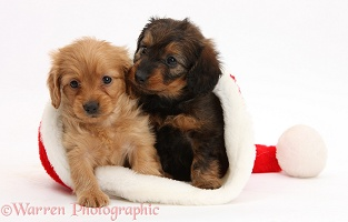 Daxiedoodle puppies in a Santa hat