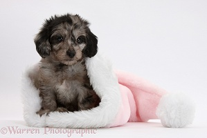 Daxiedoodle puppy in a pink Santa hat