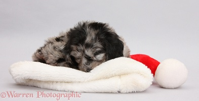 Daxiedoodle puppy sleeping on a Santa hat