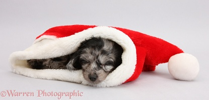 Daxiedoodle puppy sleeping in a Santa hat