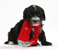 Yorkipoo puppy, 7 weeks old, wearing a scarf