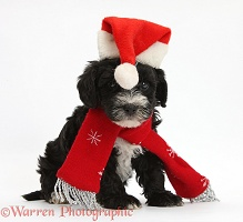 Yorkipoo puppy wearing a Santa hat and scarf