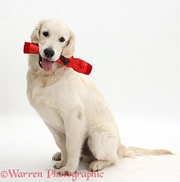 Golden Retriever dog, holding a Christmas cracker