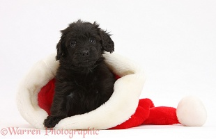 Black Daxiedoodle pup in a Santa hat