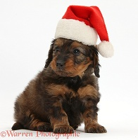 Red-and-black Daxiedoodle pup wearing a Santa hat