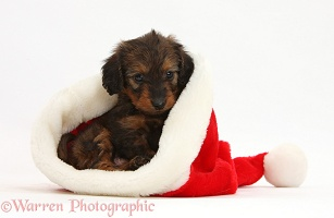 Red-and-black Daxiedoodle pup in a Santa hat