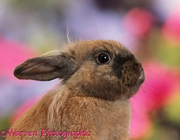 Brown Lionhead-cross rabbit portrait