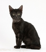 Smoke black kitten sitting