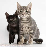 Tabby cat and smoke black kitten